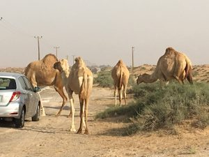 desert traffic with camels
